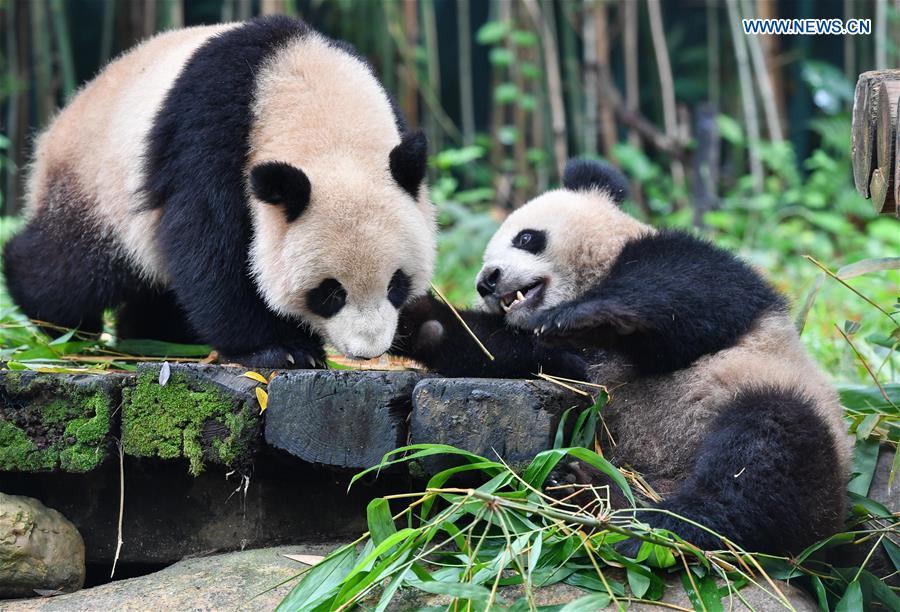 CHINA-GUANGDONG-GUANGZHOU-CHIMELONG SAFARI PARK-GIANT PANDAS (CN)