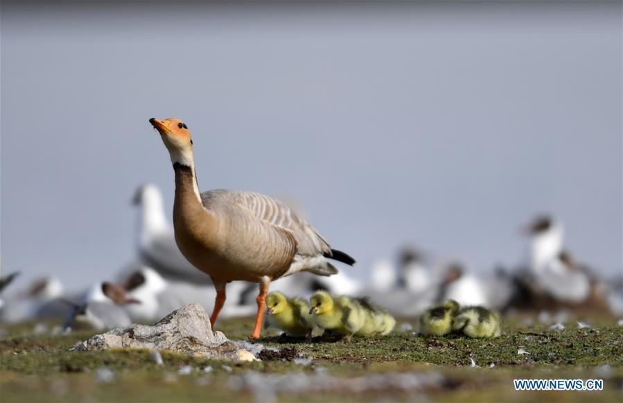 CHINA-TIBET-AMDO-BIRDS (CN)