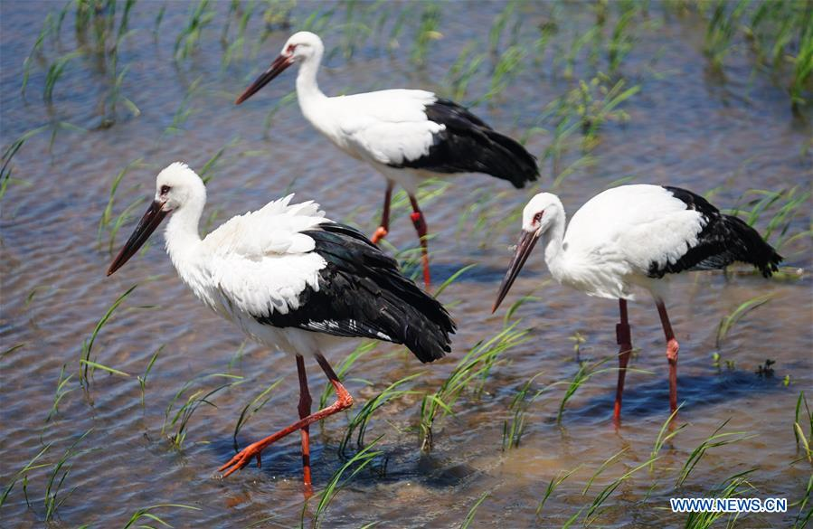 CHINA-JIANGXI-ORIENTAL WHITE STORKS-RELEASE (CN)