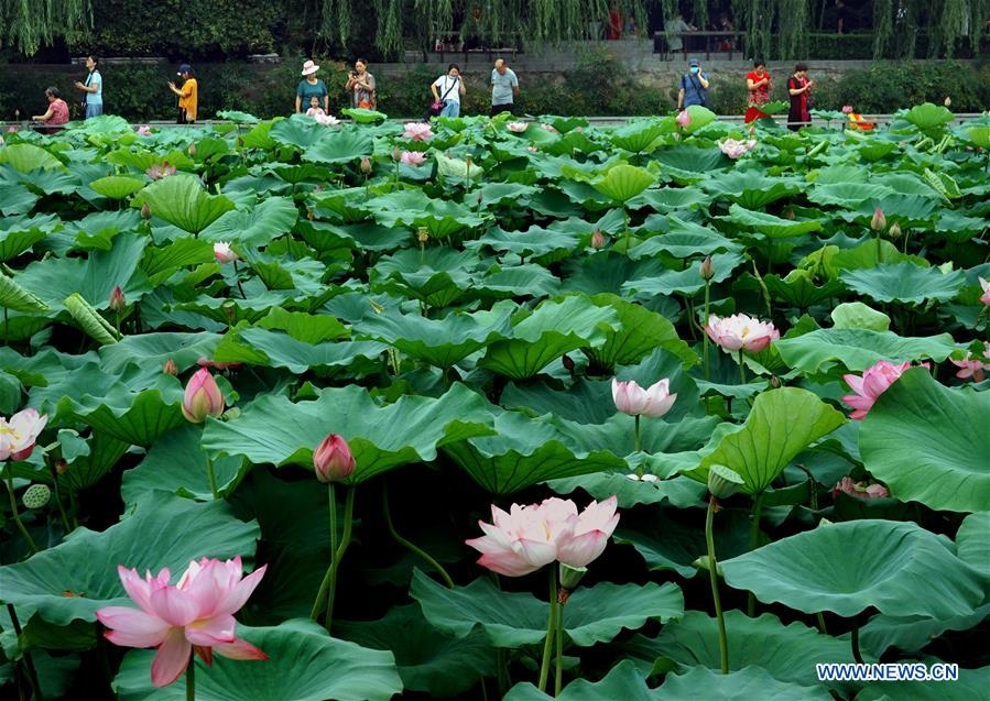 Visitors view lotus flowers at Zijingshan Park in Zhengzhou