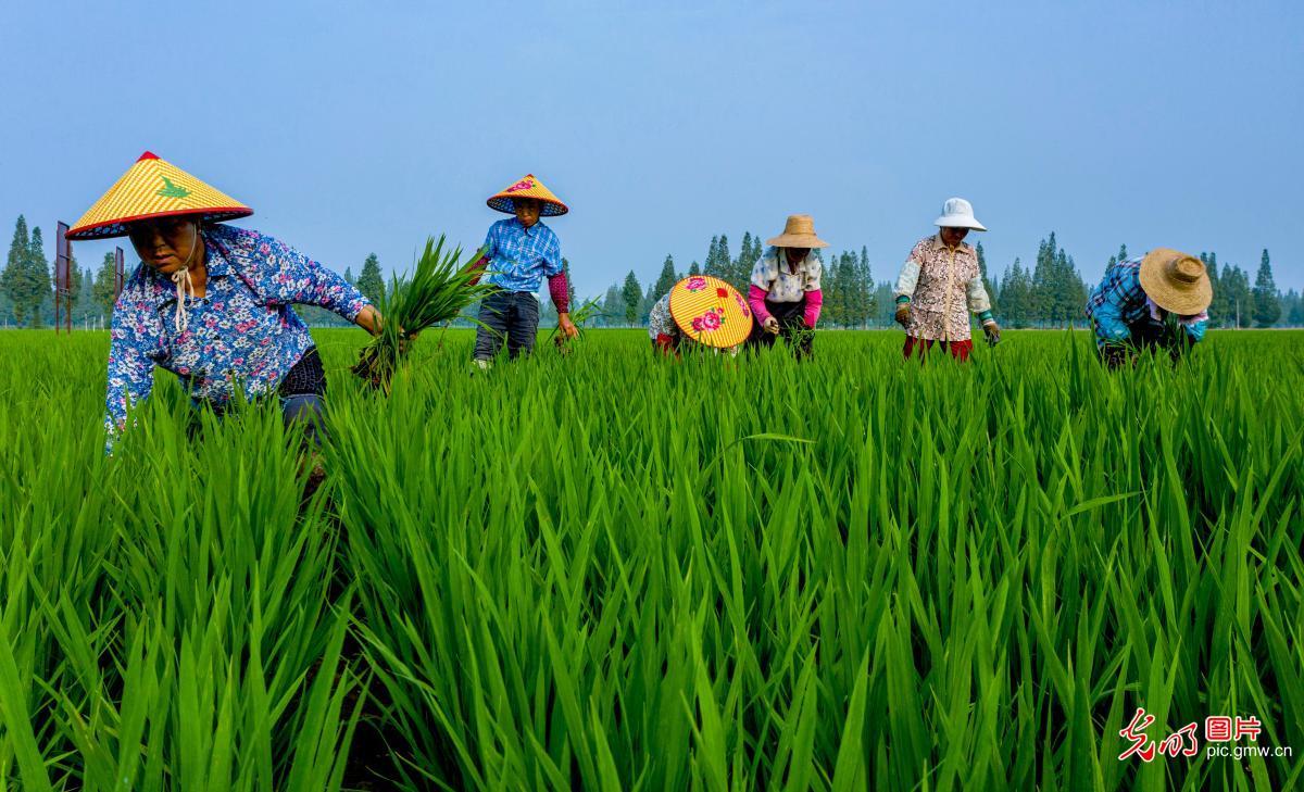 安徽庐江 水稻绿色种植节本增效