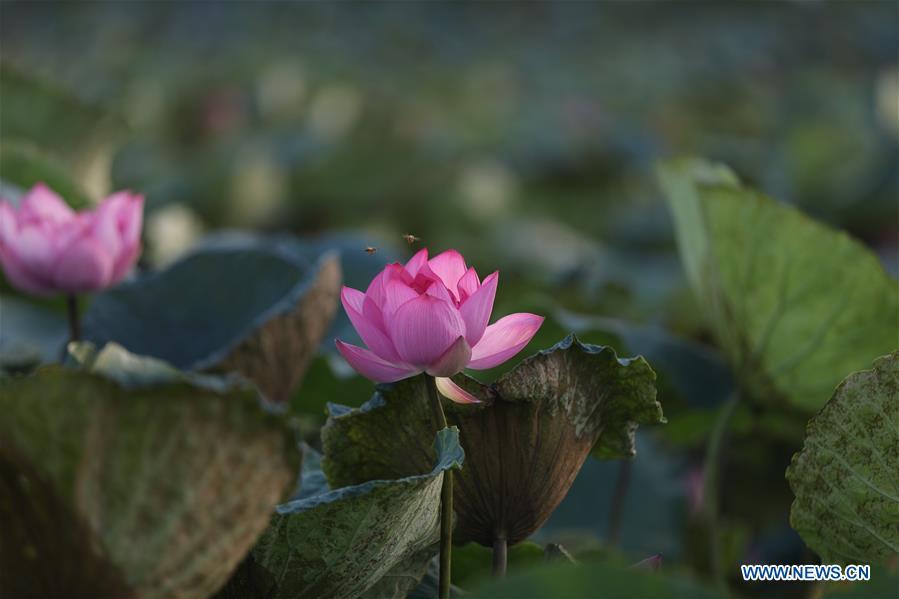 VIETNAM-HANOI-WEST LAKE-LOTUS
