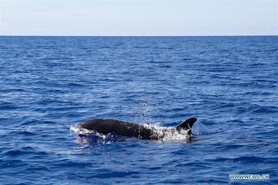CHINA-SOUTH CHINA SEA-FALSE KILLER WHALE-SPOTTED (CN)