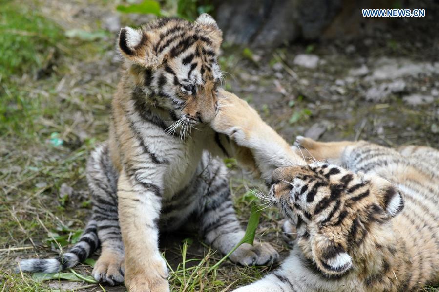 CHINA-HEILONGJIANG-HAILIN-SIBERIAN TIGER CUBS (CN)