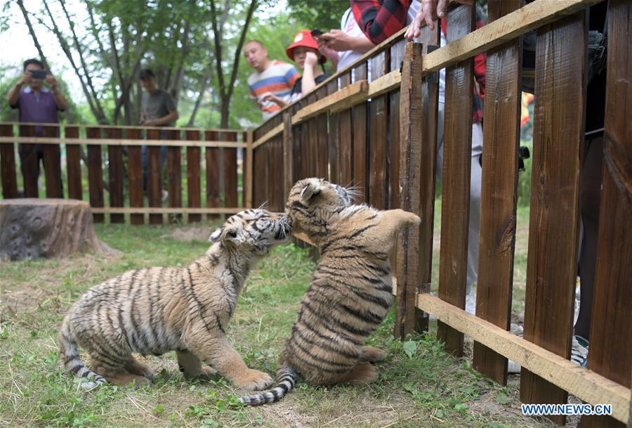 CHINA-HEILONGJIANG-HAILIN-SIBERIAN TIGERS-TIGER DAY(CN)