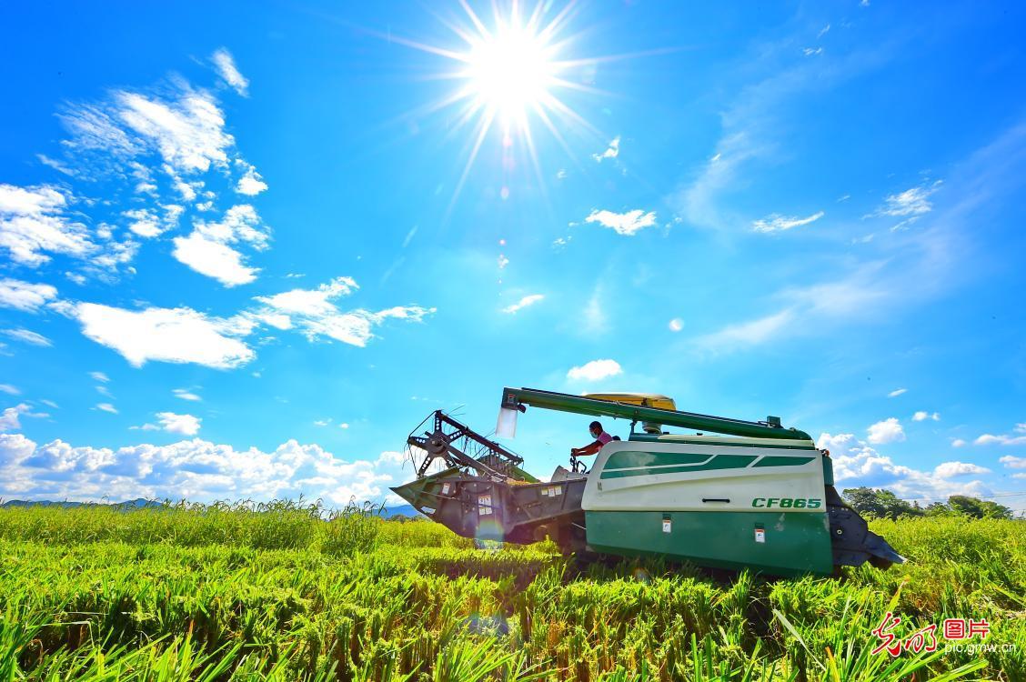 江西会昌:制种水稻收割忙