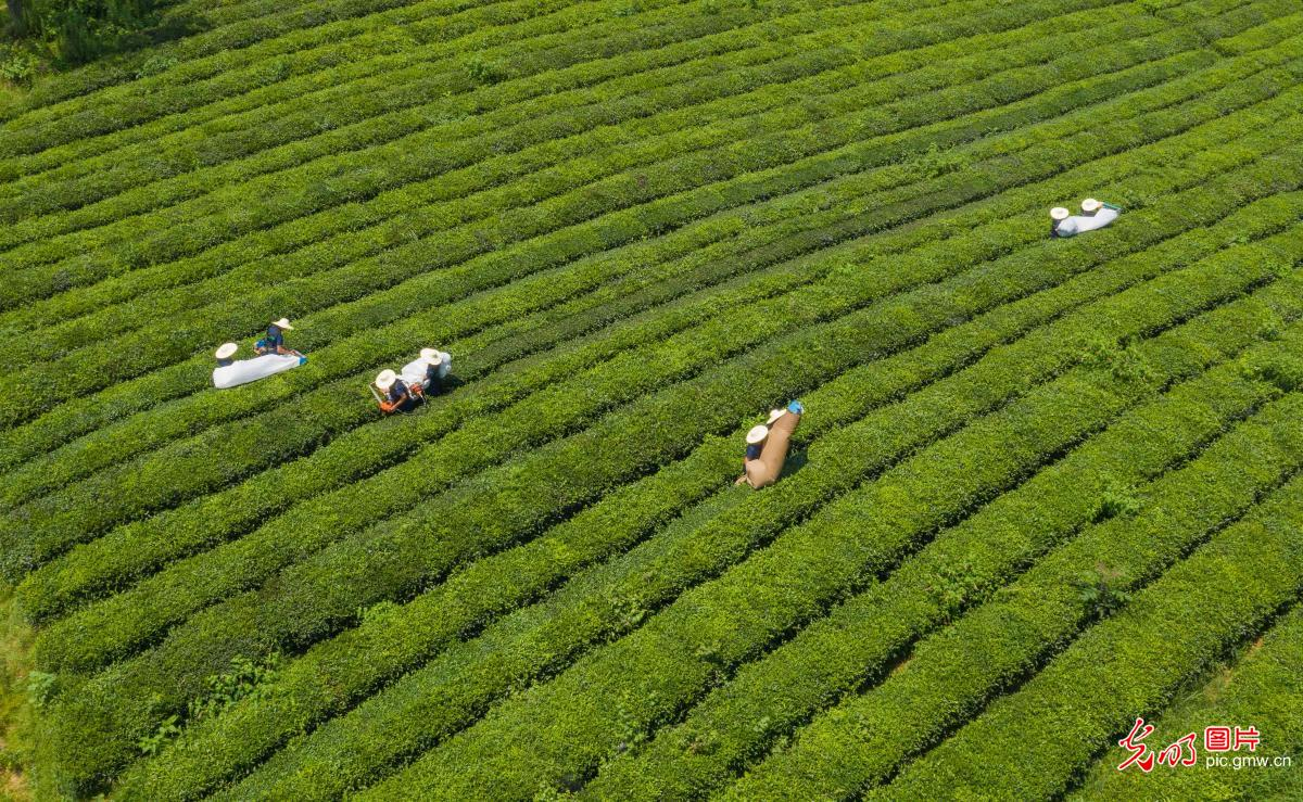 Farmers picking summer tea in central China's Hubei Province