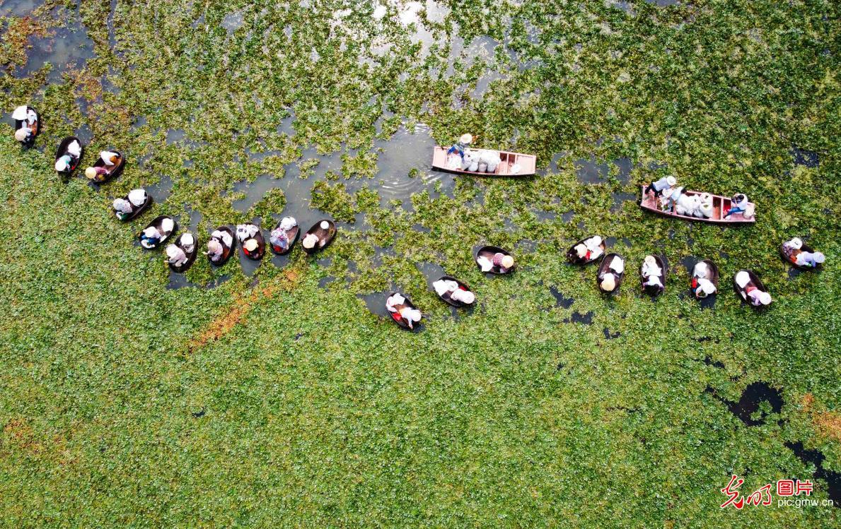 Farmers picking water chestnuts in E China's Jiangsu Province