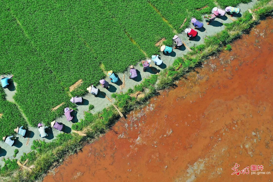 Women help with farming during busy farming season in E China's Jiangxi Province