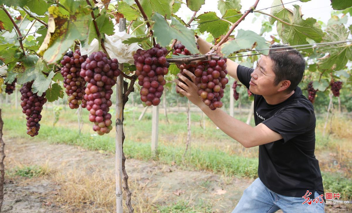 Farmers busy harvesting grapes in E China's Jiangsu
