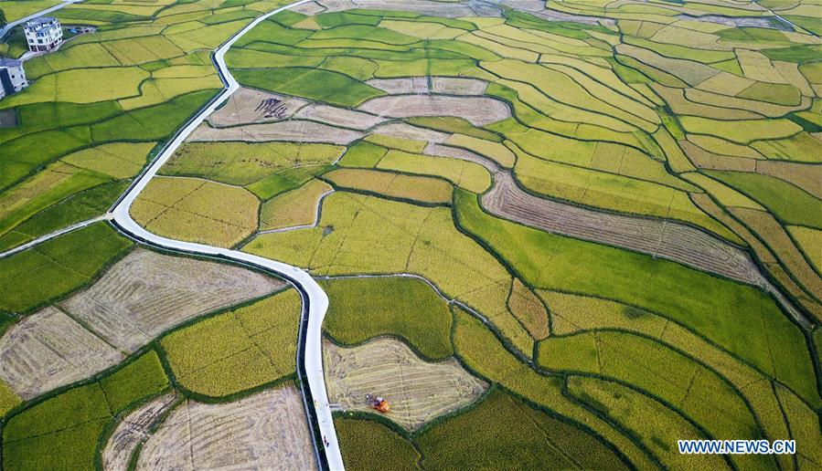 CHINA-GUIZHOU-TIANZHU-RICE-HARVEST (CN)