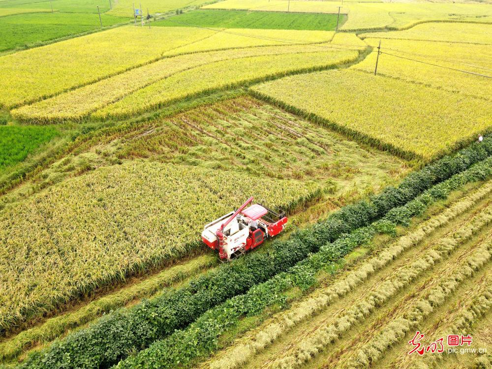 Farmers harvesting rice in central China's Hunan Province