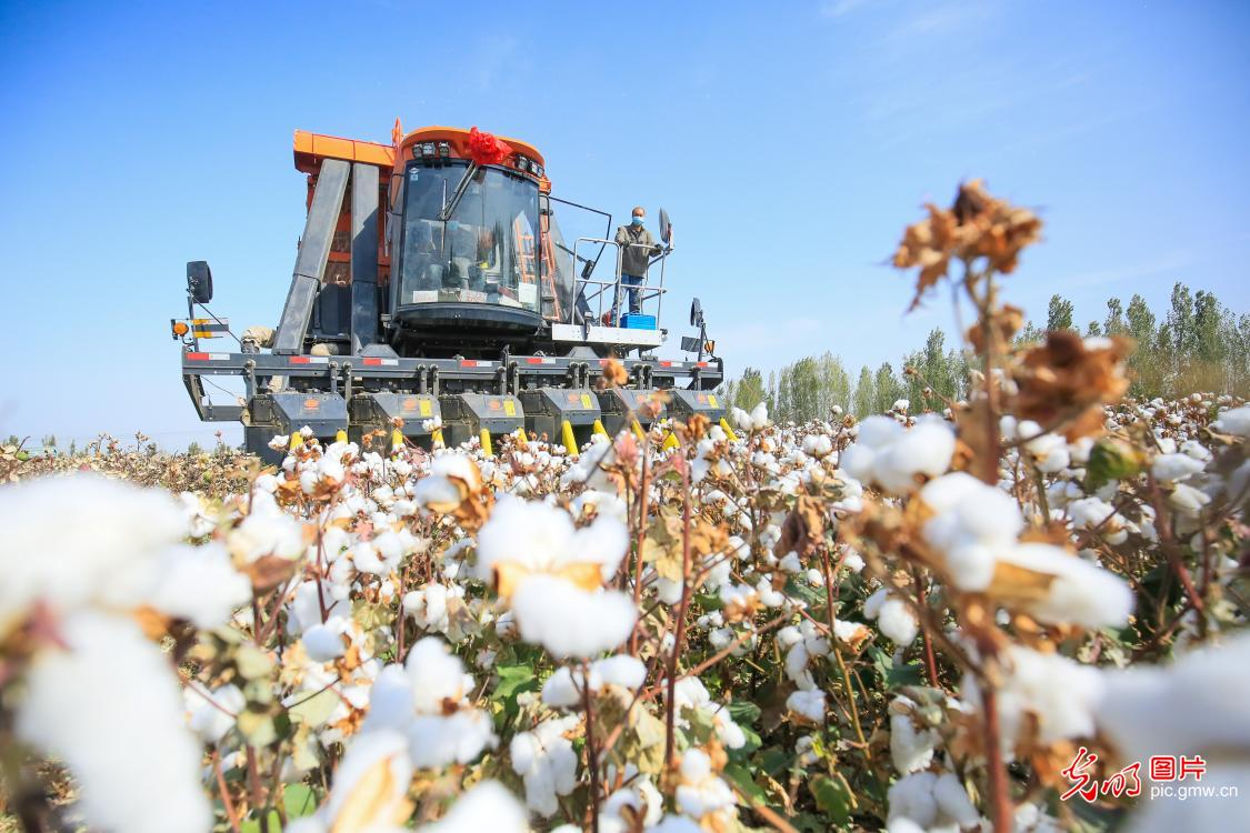 Cotton fields embraced harvest season in NW China's Xinjiang