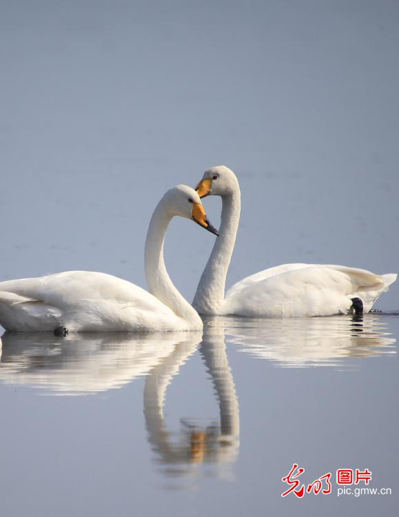 Whooper swans migrated to Shandong Rongcheng Swan National Nature Reserve for winter