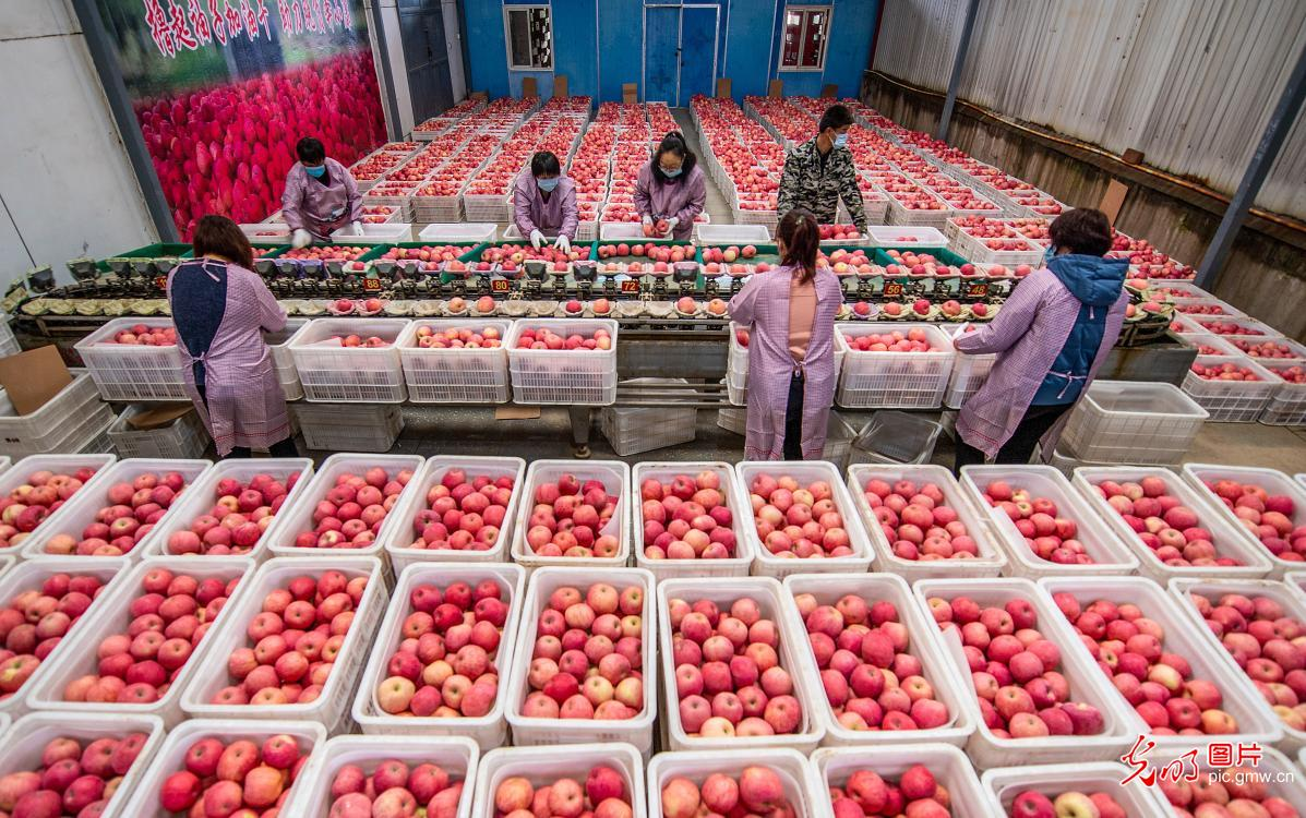 Apples are ready for sales in Yuncheng, N China's Shanxi Province