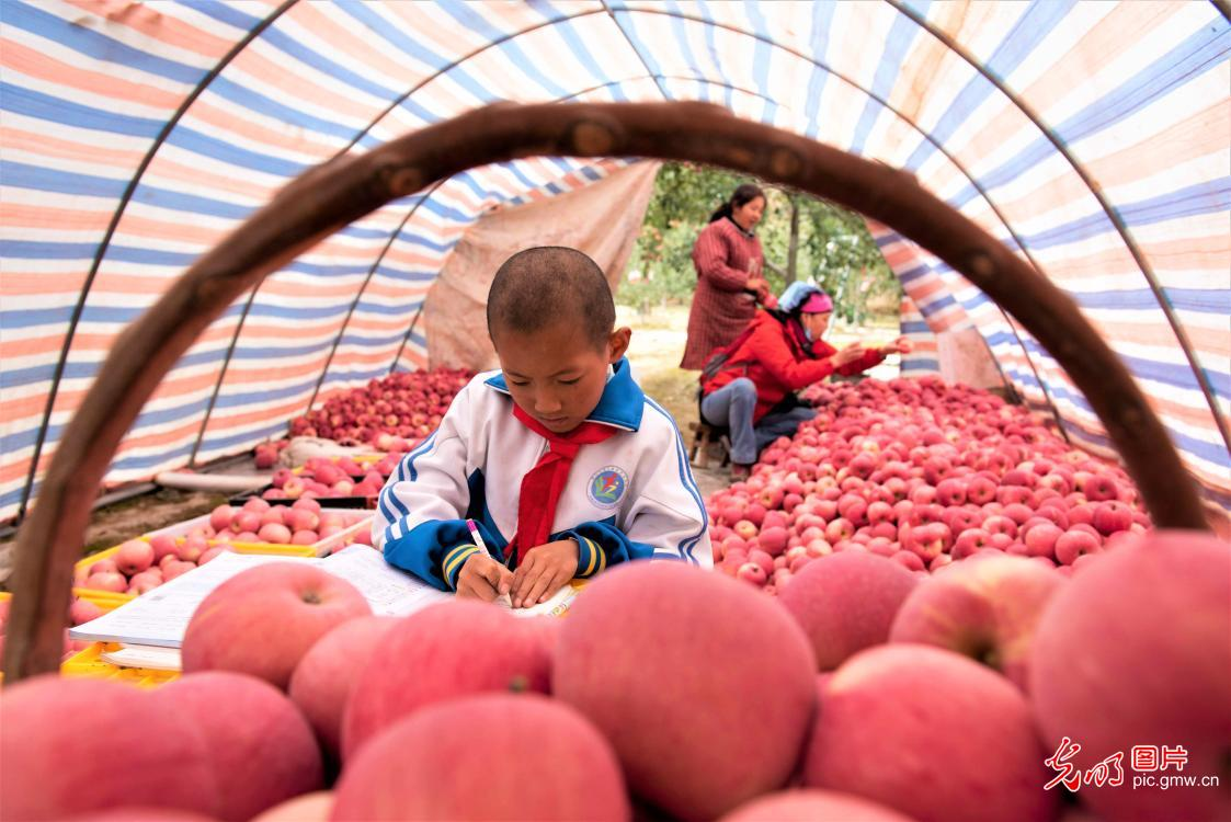 Farmers picking apples in Pingliang, NW China's Gansu