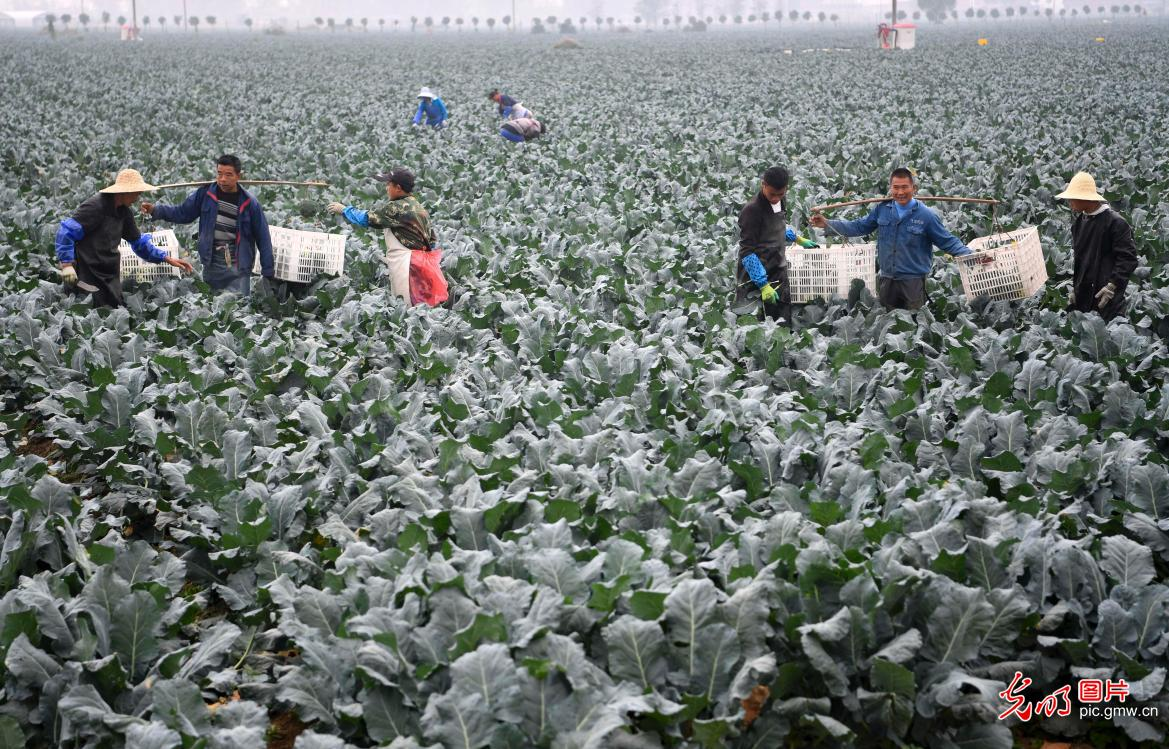 Broccoli industry in E China's Anhui helps to alleviate poverty