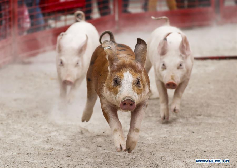 U.S.-ILLINOIS-LINCOLNSHIRE-PUMPKINFEST-PIG RACE
