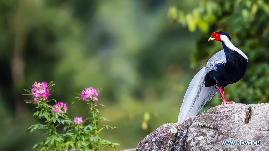 Silver pheasantat Exiandong national nature reserve in Fujian