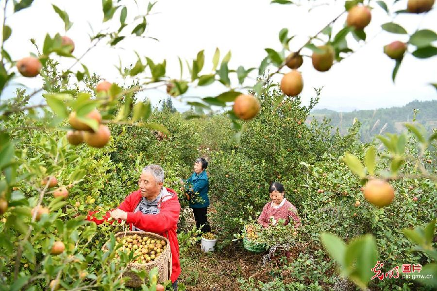 Villagers harvest oil-tea camellia in Tongcheng, C China's Hubei