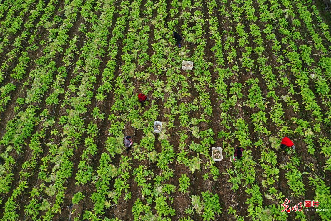 Harvested radishes in SW China's Chongqing