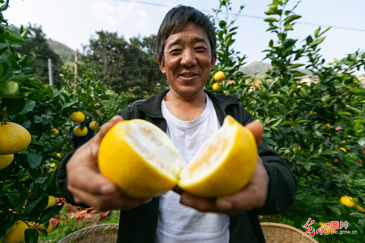 "Guided by ""lucid waters"" idea, SW China's Guizhou developed grapefruit planting on barren ground"