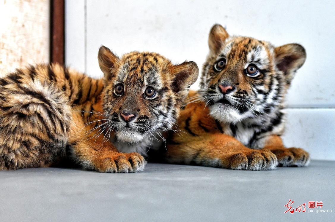 Two South China tiger cubs debuted at the Wangcheng Park Zoo in central China's Henan