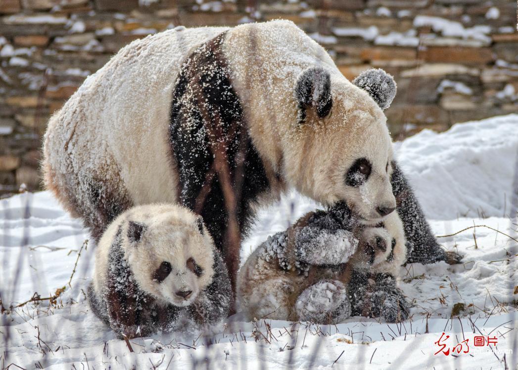 四川汶川卧龙:熊猫戏雪