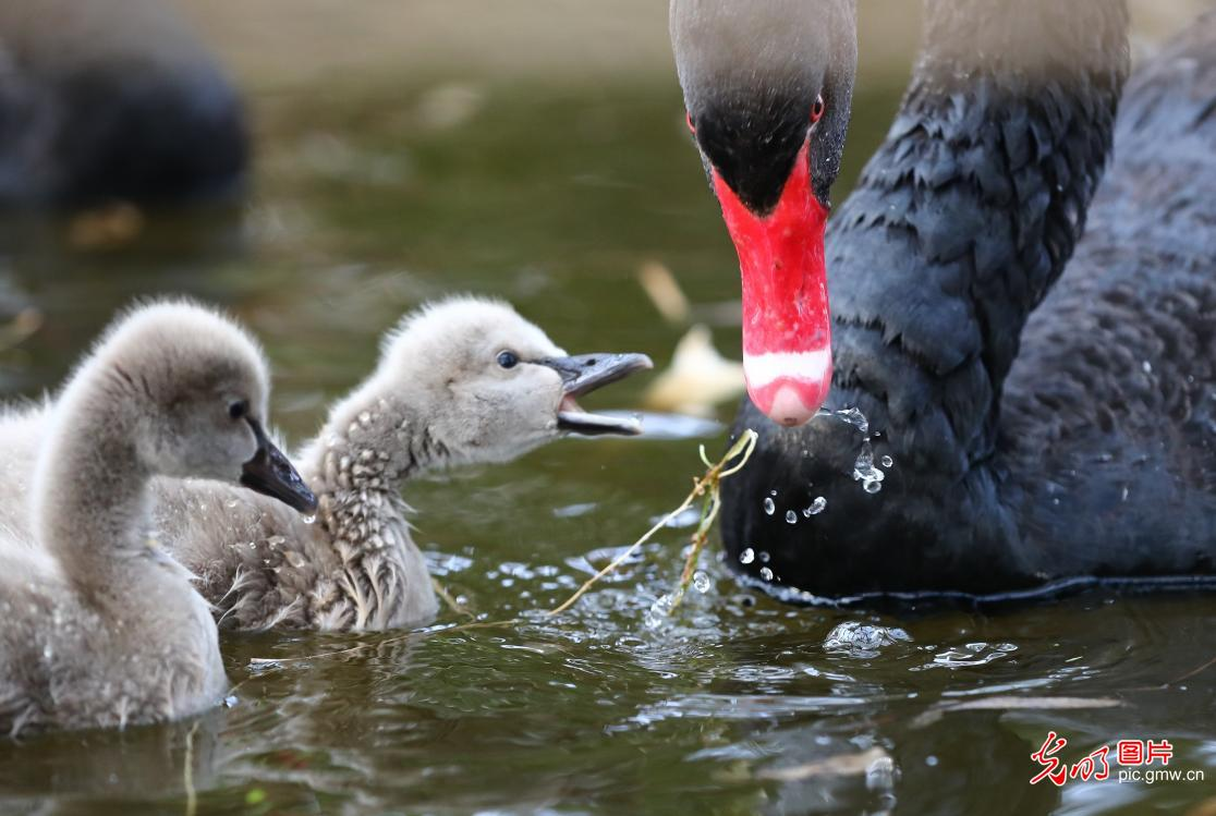 Baby swans at Red Lotus Wetland in E China's Shandong Province