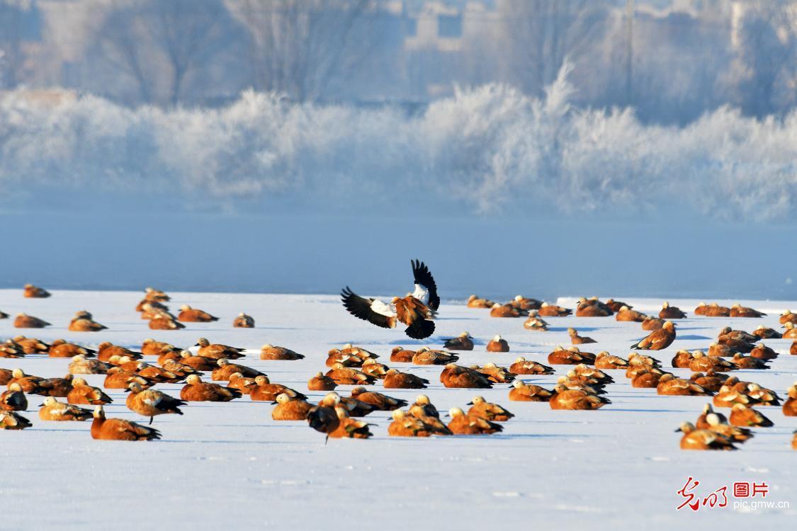 黑河湿地雾淞美 越冬候鸟舞翩跹