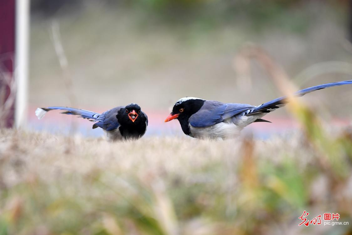 Red-billed blue magpies forage in SW China's Guizhou Province