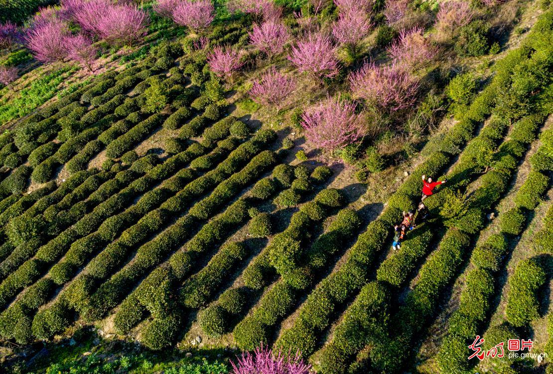 Plum-blossoms blooming in profusion in E China's Anhui