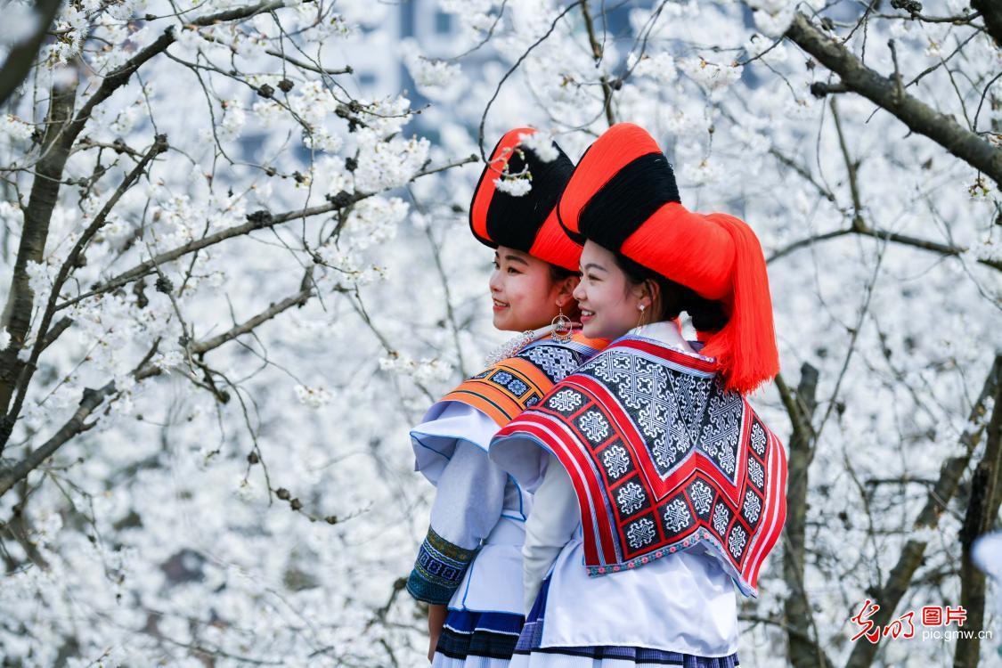 贵州纳雍:樱花盛开美如画