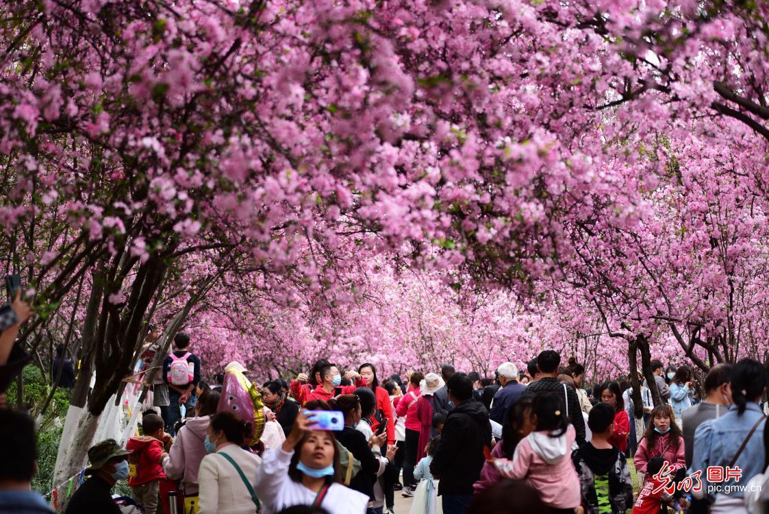 云南昆明:樱花盛开游人来