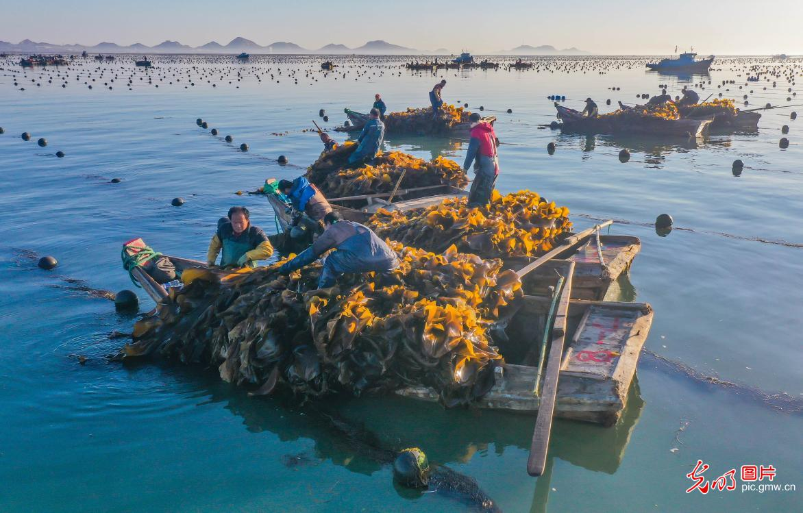 Kelp harvested in E China's Shandong