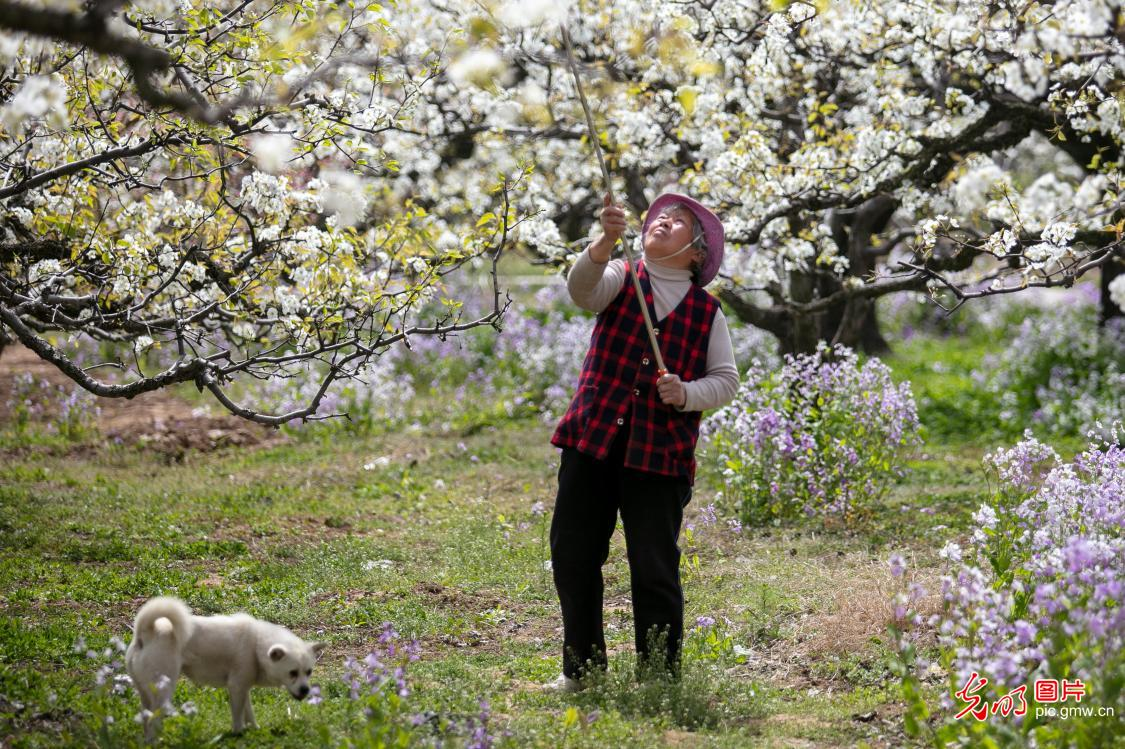 Pear blossoms blooming in E China's Anhui