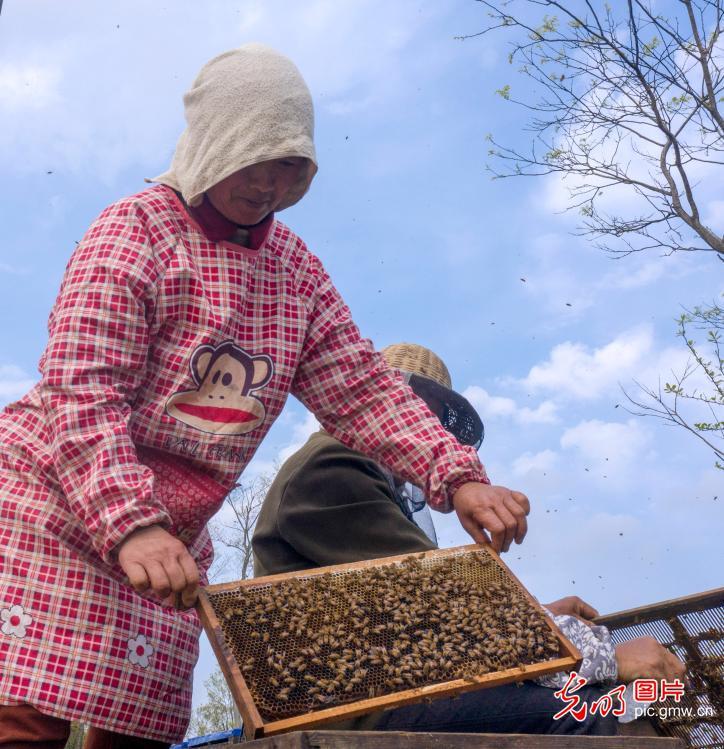 Full-bloom flowers in spring sweeten beekeepers' life