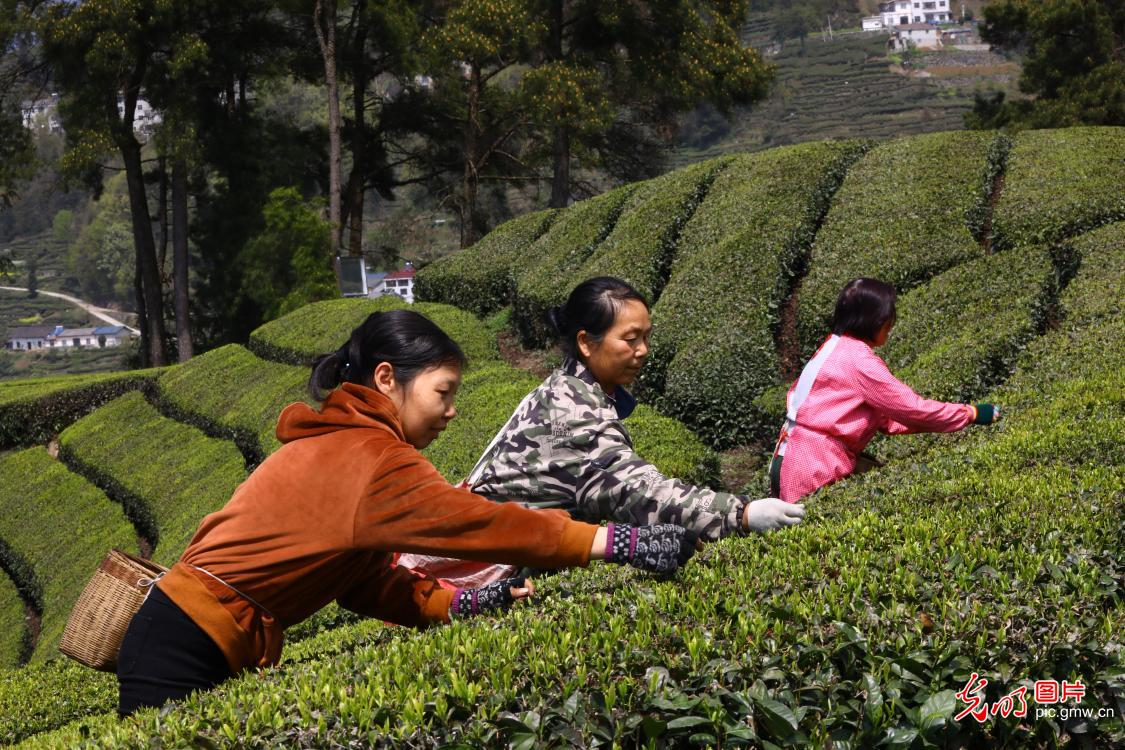 Spring tea picking in full swing in C China's Hubei