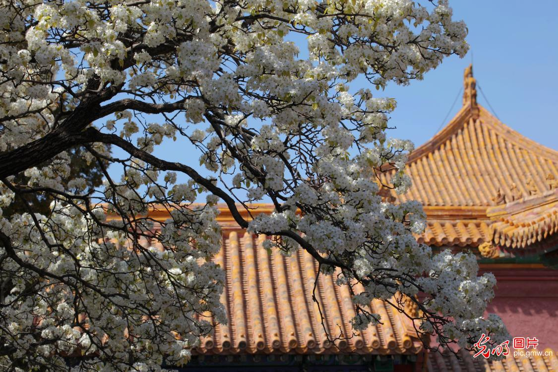 Scenery of pear blossoms in Chengqian palace of the Forbidden City