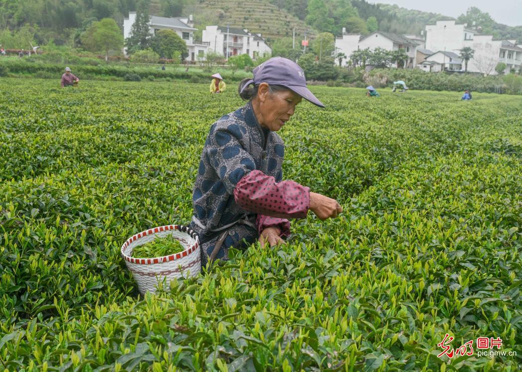 Tea farmers pick tea leaves in Wuyuan, E China's Jiangxi