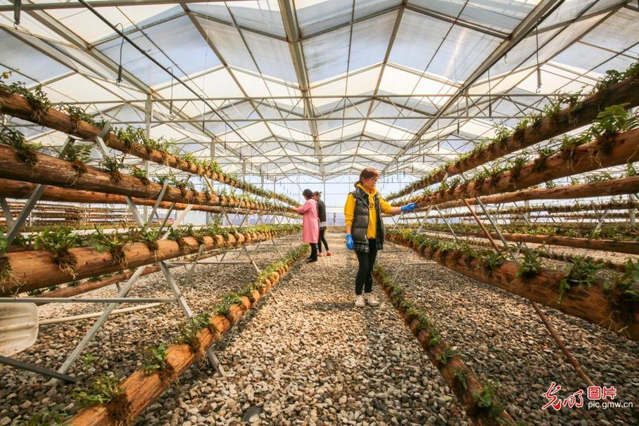 Jiangsu Rugao: planting dendrobium creates income