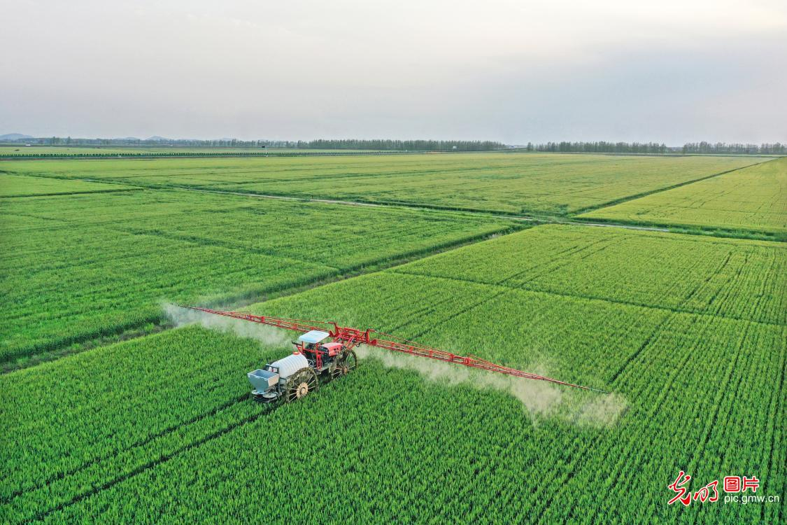 Farmer sprays pesticide at wheat field in E China's Anhui