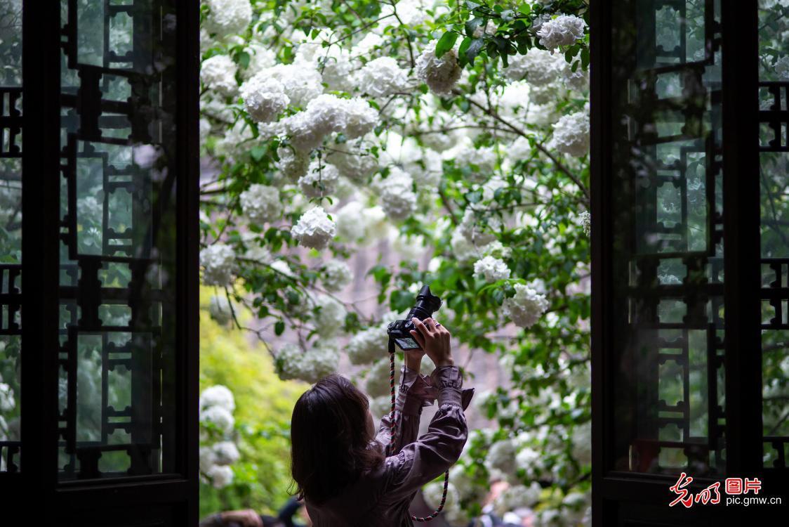 南京:绣球花开四月天