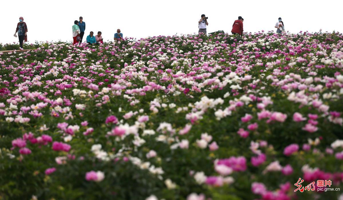 TheFirst Pheony Flower Festival held in NW China's Xinjiang