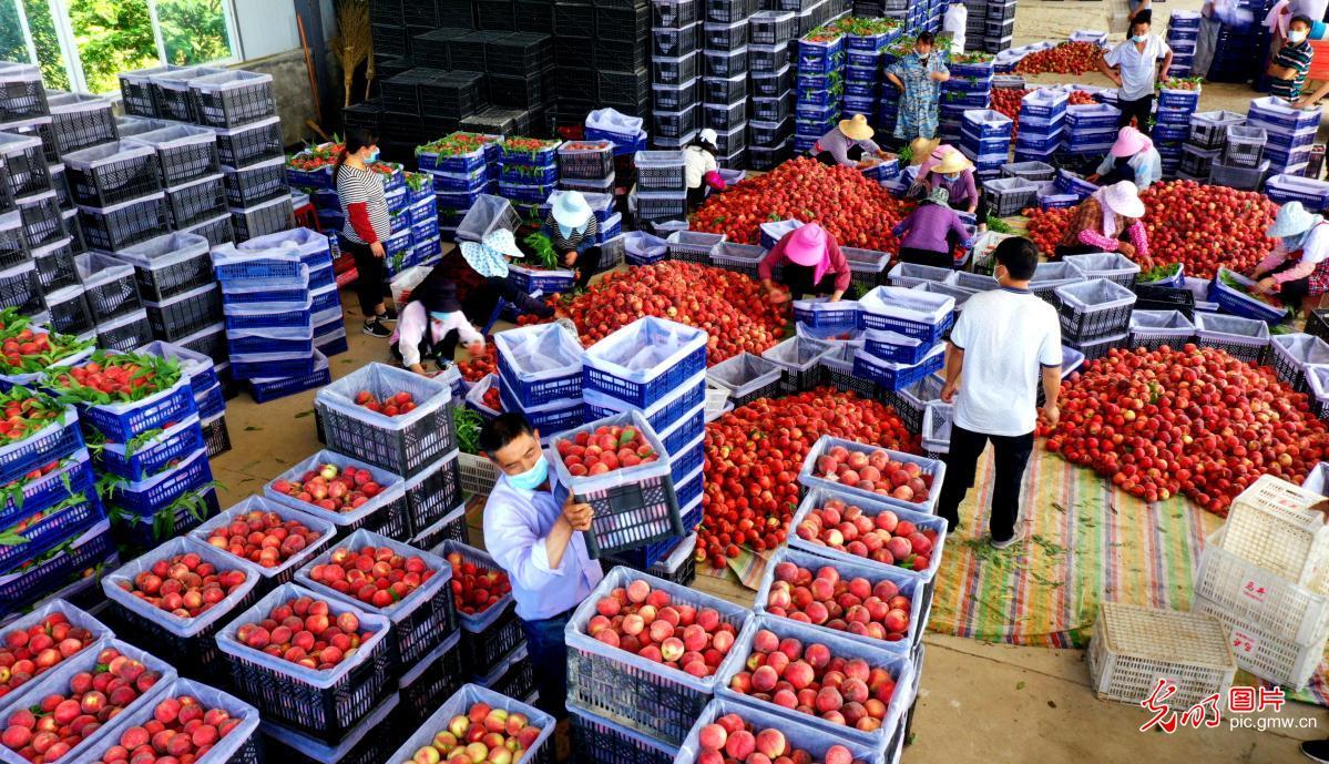 Farmers loading peaches in E China's Anhui Province