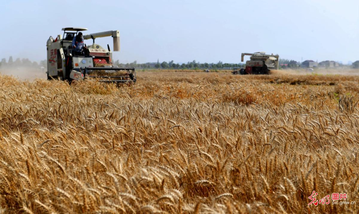 Wheat harvested in E China's Anhui