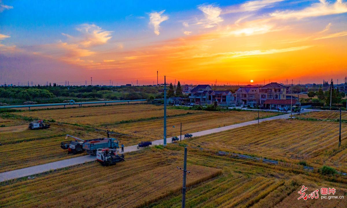 Wheat harvested in SE China's Jiangsu