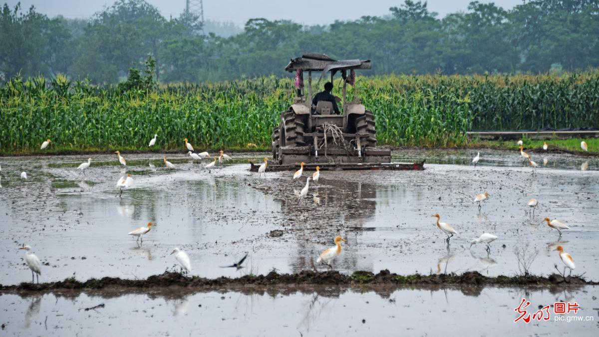 白鹭伴耕生态美