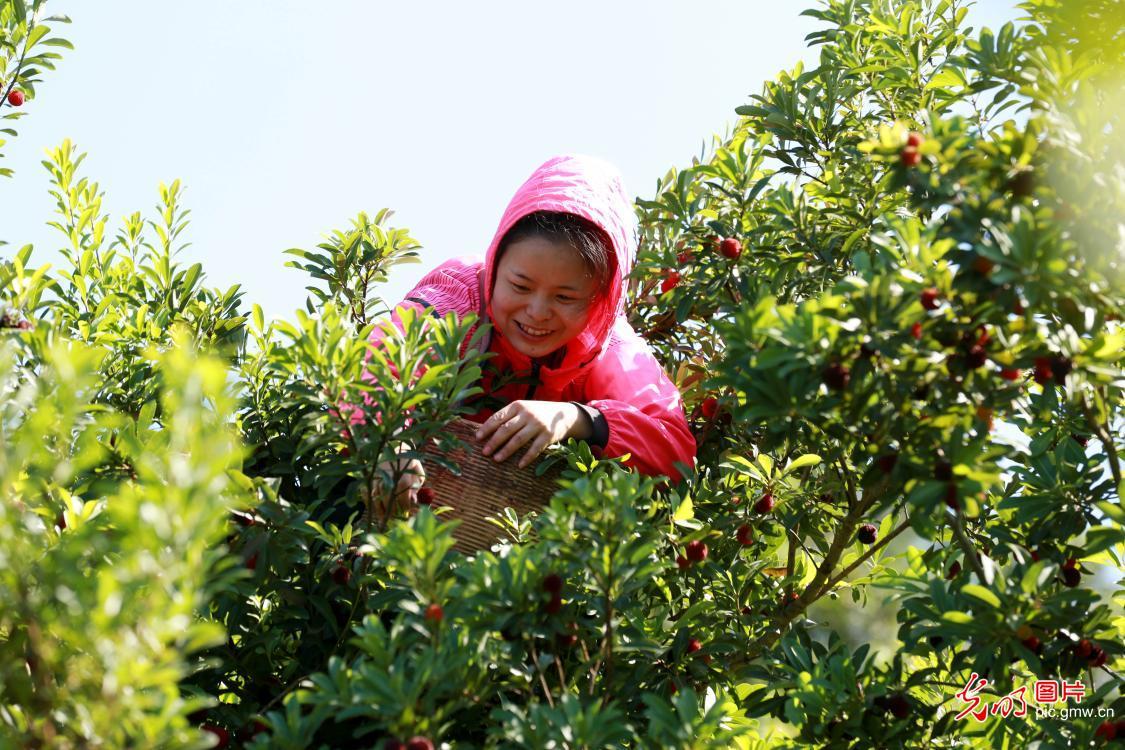 Waxberry ushers in harvest season in SW China's Guizhou