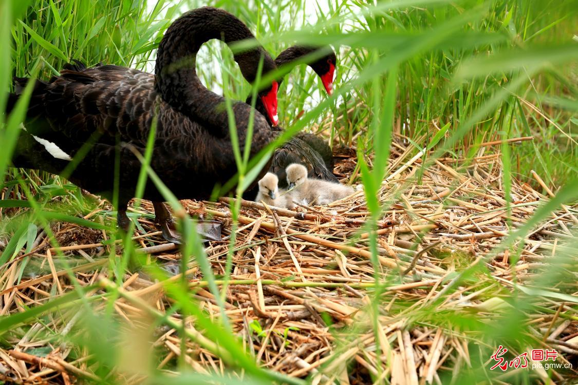Cygnets seen with parents in Zhangye, NW China's Gansu
